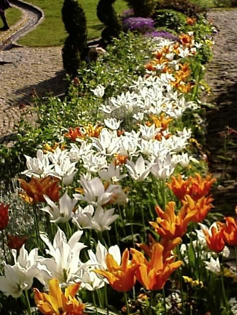 Chalice Well Tulips